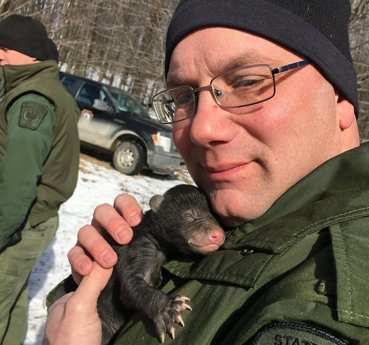 Galeton bear hibernating against house relocated with cubs by Game Commission