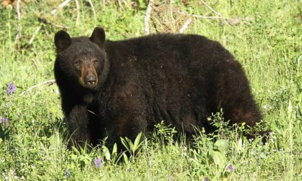 Game Commission: Black Bear Ecology and Management Presentation scheduled in Scranton