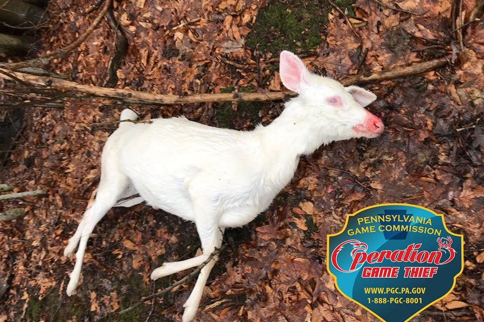 Game Commission asks for help to find shooter of albino fawn