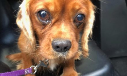 East Hempfield Police hope to reunite puppy with family found near golf course