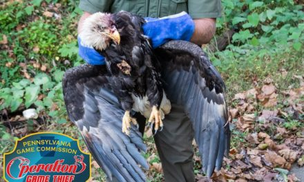PA Game Commission searching for person who shot Bald Eagle